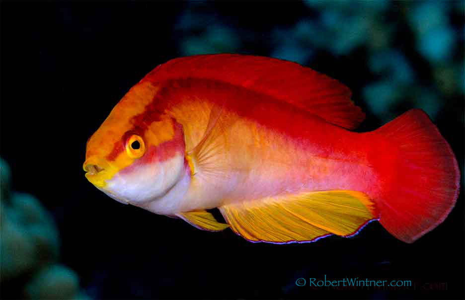 Flame Wrasse Confidential